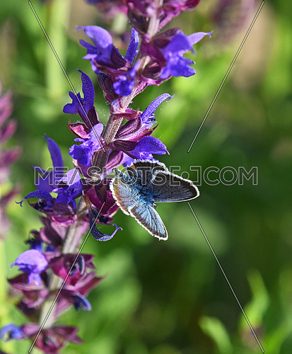 One blue moth butterfly on purple sage salvia flower over green summer meadow background, close up
