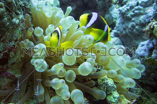 clown fish in soft corals