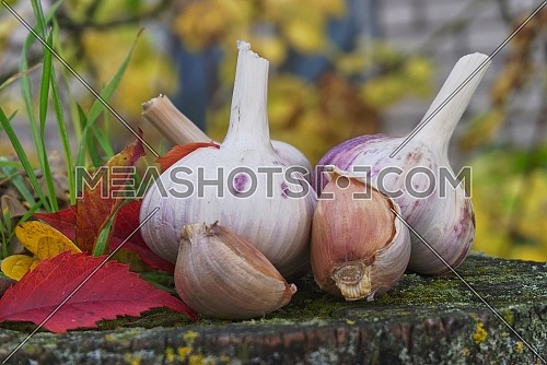Preparing for planting garlic heads and cloves against the background of colorful autumn leaves, the concept of autumn planting