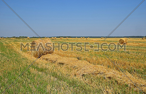 Yellow golden bales of hay straw in stubble field after harvesting season in agriculture