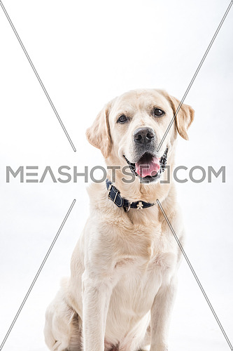 Mid shot for white Labrador Retriever Dog.