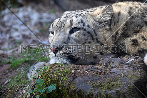 Close up portrait of young female snow leopard (or ounce, Panthera uncia) resting on the ground and looking away aside from camera, low angle view