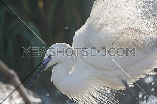a portrait of a Little Egret bird spreading wings