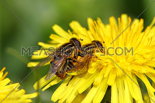 Flies mating on a yellow dandelion flower with blurred green background