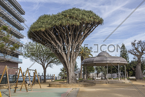 Old tree of variety Dracaena Draco in Genoves Park in Cadiz, Andalusia, Spain
