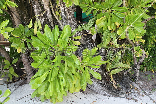 Tree trunk and huge green leaves in Maldives