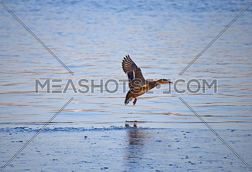 One mallard duck flying above blue wavy river water, low angle side view