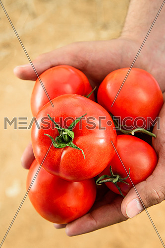 A close up shot of a male hand holding some red tomatos