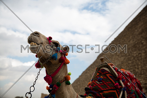 A camel with the View of the Giza Pyramids in Egypt.