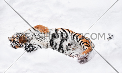 One young female Amur (Siberian) tiger playing and rolling in fresh white snow sunny winter day and looking at camera, full length high angle view