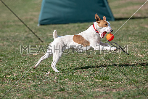 Small funny dog Jack Russel terier catching ball on the green grass. Little Jack Russel Terrier pet playing outdoors in park.