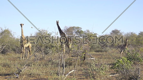 A family of three Giraffes (a tower)