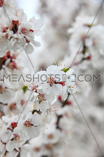 Close up white apricot cherry tree blossom, low angle view