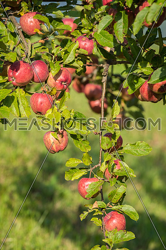 Natural red apples without any treatment hanging on the branch in the apple orchard during the autumn.