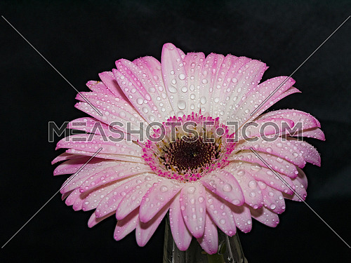 Beautiful  Gerbera flower with water drops. Macro photography of gerbera flower. Selective focus
