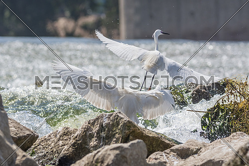 2 Little Egret birds spreading their wings