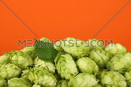 Close up heap of fresh green hops, ingredient for beer or herbal medicine, over vivid orange background with copy space, low angle side view