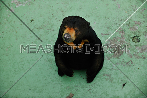 black wild bear in zoo