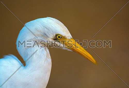 Cattle Egret Close up Head Shot
