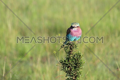 Lilac-breasted Roller standing on a tree branch