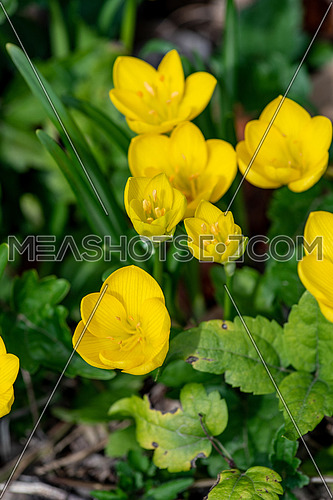 The plant Sternbergia lutea  in the garden . The plant is autumn and has beautiful yellow flowers and green fleshy leaves and long.