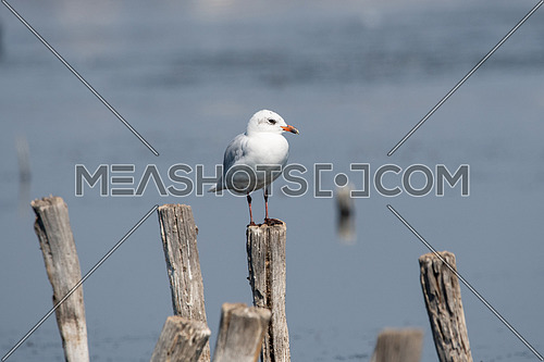 Detailed portrait of  Little Gull (Larus minutus)