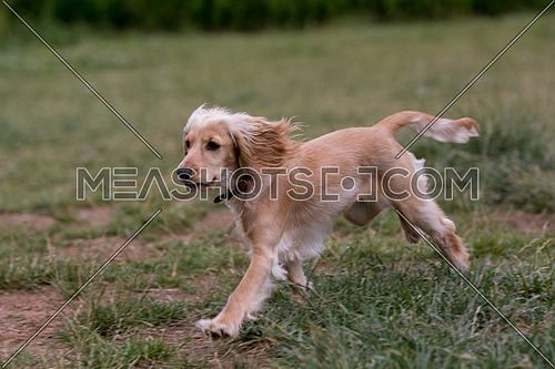English Cocker Spaniel  running Selective focus on the dog