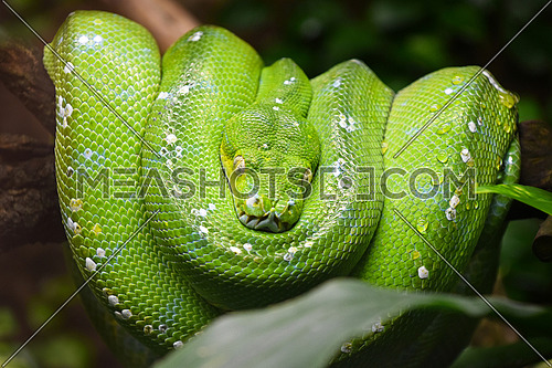 Close up portrait of beautiful Green tree python (Morelia viridis) looking into camera, low angle view