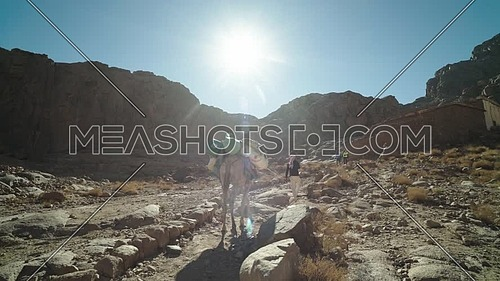 Follow shot for a bedouin male walking with a camel in Sinai Mountain at day.