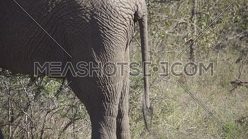 View of a bull elephants tail swinging around