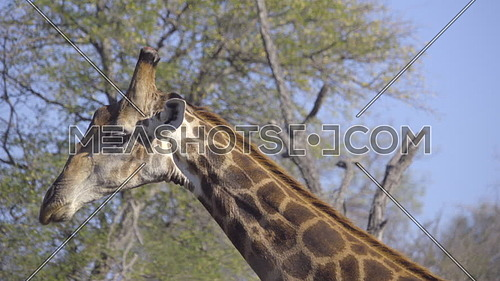 Detail shot of a bull Giraffe neck