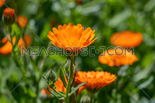 Flower with leaves Calendula (Calendula officinalis, pot, garden or English marigold) on blurred green background