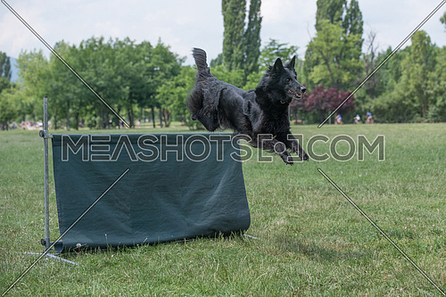 Belgian Shepherd on agility competition, over the bar jump. Proud dog jumping over obstacle. Selective focus on the dog