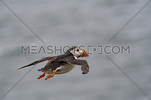 Puffin (Fratercula arctica) flying back to nesting colony