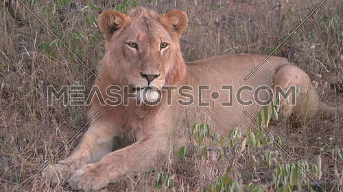 View of a Lion resting on the ground