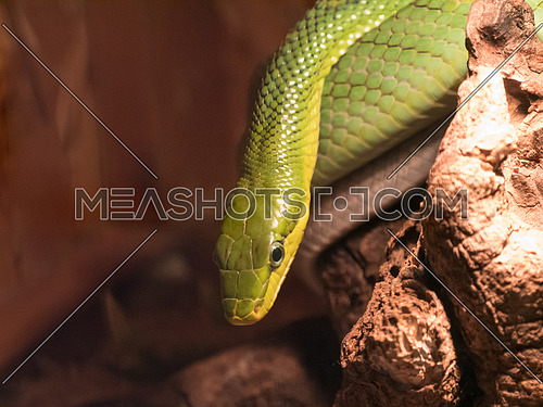 Eastern green mambas are the smallest of the mambas.