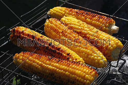 Cooking several fresh yellow brown golden corn cobs on open air barbecue grill, close up