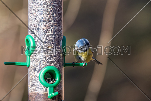 Eurasian blue tit (Cyanistes caeruleus) taking nuts from bird feeder with copy space