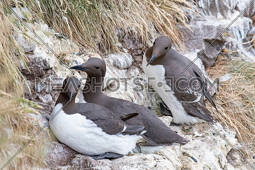 A guillemot (Uria aalge) on a cliff edge on the Isle of May