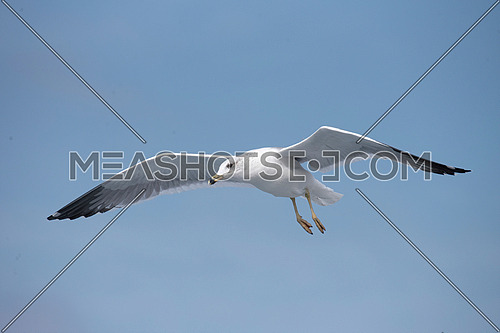 Detailed portrait of natural flying Armenian gull (Larus armenicus)