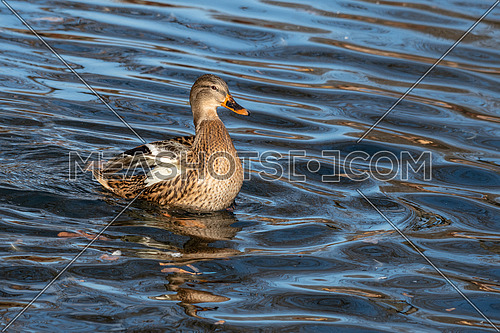 Birds and animals in wildlife. Close up of a Mallard Duck. Female Mallard Ducks at the Lake