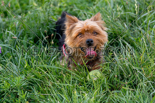 Yorkshire Terrier laying on the green grass