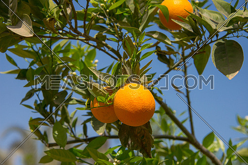 Oranges hanged on a tree