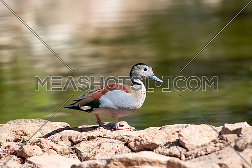 Ringed teals are one of the smallest duck species at around 15 inches long. Males andfemales are dimorphic, having different colored feathers