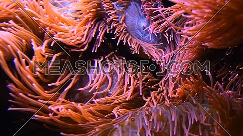 Close up pink and purple sea sebae anemone polyps in water of aquarium, low angle view