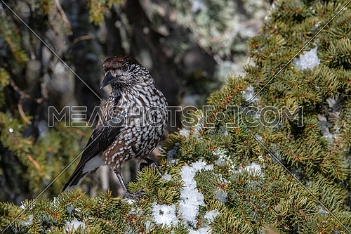 Spotted Nutcracker (Nucifraga caryocatactes) on the perch in winter forest