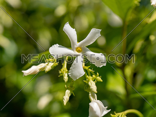Beautiful blooming jasmine branch with white flowers at sunlight in summer sunny day