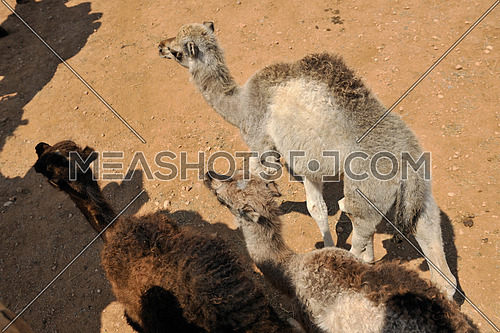 wild camel animal on tourist safari tour