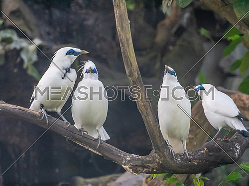 Bali Myna (Leucopsar rothschildi) the national symbol of the Island of Bali.