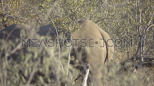 Scene of an endangered Rhino walking in the bush
